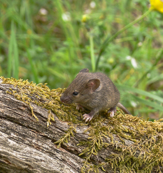 Aeolian house mouse: an extraordinary evolutionary model, the result of a thousand-year-old friendship with humans