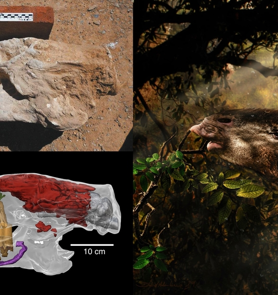 Sloth does not fear time: traces of a 35-million-years evolutionary history  in modern specimens