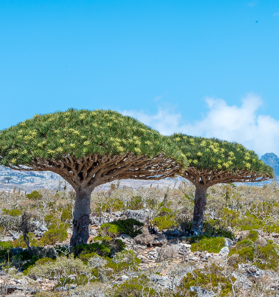 Socotra, a Botanical Paradise: From Knowledge to Conservation
