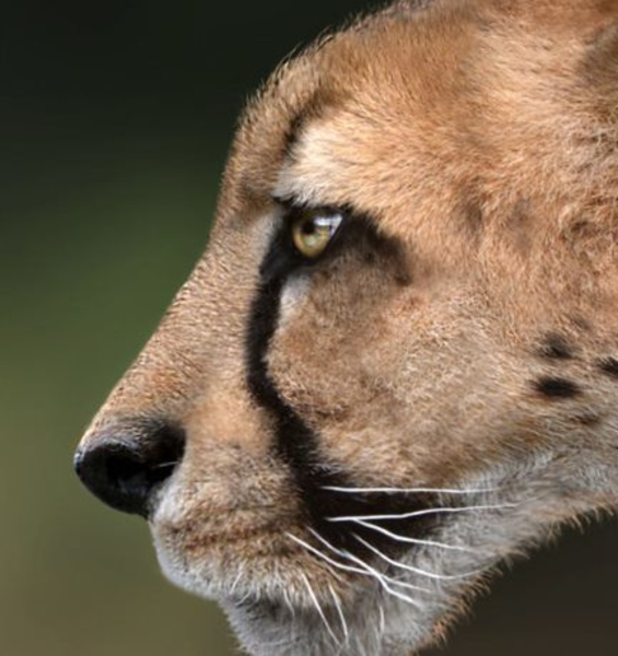 Unveiled the giant cheetah identikit: the predator which lived 1,5 milion years ago