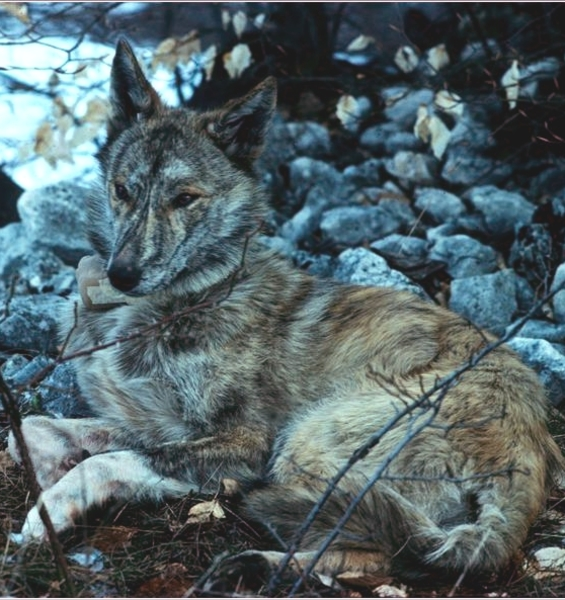 Wolf-dog hybridisation in Europe: a risk to biodiversity