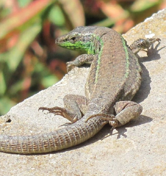 A New Lizard Discovered on the Pontine Islands
